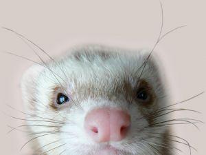 ferret-face